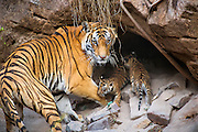 Bengal Tiger<br /> Panthera tigris <br /> Mother and four week old cubs at den <br /> Bandhavgarh National Park, India<br /> *Digitally removed grass in foreground