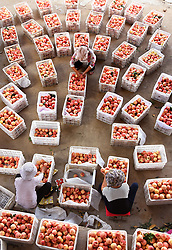 Aug. 7, 2017 - Gaiye, China - Farmers select peaches for sale in Gaiye Village of Zhongzhuang Town in Yiyuan County, east China's Shandong Province. The Chinese solar term ''beginning of autumn'' falls on Aug. 7 this year. (Credit Image: © Zhao Dongshan/Xinhua via ZUMA Wire)