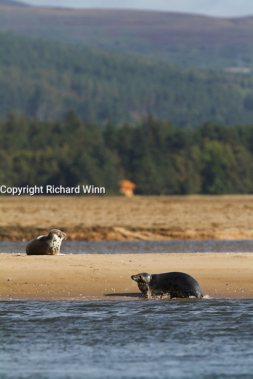 Grey seal hauling out onto a sandbank in the Dornoch Firth, Scotland.