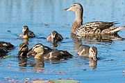Mallard, Anas platyrhynchos, adult female and ducklings, Chippewa County, Michigan