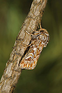 Pine Beauty Panolis flammea Length 16-18mm. A beautifully patterned moth that rests with wings folded in a tent-like manner. Adult has orange-brown forewings marbled with darker patches and two pale spots, one round the other kidney-shaped. Flies March-April. Larva feeds on needles of Scots Pine and other pines. Widespread and locally common, except in upland districts.