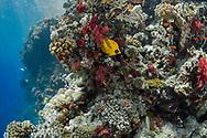 Bluecheek butterflyfish-Poisson papillon jaune (Chaetodon semilarvatus) of Red Sea, Sudan.