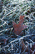 Backlit Oak Leaf in Frost covered Grass