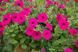 Petunia x hybrida F1 Tidal Wave Purple (Tidal Wave Series) growing in a terracotta pot