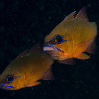 A mother Ringtailed Cardinalfish, Apogon aureus, carrying her eggs in her mouth, Anilao, Batangas, Philippines.