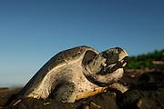 The olive ridley sea turtles (Lepidochelys olivacea)  are famous for their behaviour to nest also during the day. Their arribada (mass nesting event with several days of duration) only pauses during hot midday temperatures. | Zum Zeitpunkt der Eiablage haben viele Oliv-Bastardschildkröten (Lepidochelys olivacea) ein mit Sand bedecktes Gesicht. Grund hierfür ist das auffällige, für diese Art typische Verhalten, beim Hinaufkriechen auf den Strand den Sand mit dem Schnabel zu durchpflügen. Es scheint, dass so die Beschaffenheit des Untergrundes dahingehend überprüft wird, ob er für den Nestbau geeignet ist oder nicht.