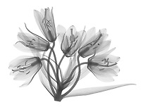 X-ray image of a Fritillaria raddeana umbel in bloom (Fritillaria raddeana, black on white) by Jim Wehtje, specialist in x-ray art and design images.