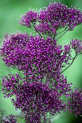 Trachelium caeruleum 'Lake Michigan Purple'