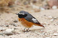 Redstart Phoenicurus phoenicurus - Male. L 14cm. Colourful Robin-sized bird. Dark-centred red tail is pumped up and down when perched. Sexes are dissimilar. Adult male has grey back, nape and crown, black face and throat, and orange-red underparts (most colourful on breast). Note white forehead and supercilium. Adult female has grey-brown upperparts and head, and orange wash to pale underparts. 1st winter birds recall respective adult plumages but feathers have pale margins. Voice Utters a soft huiit call. Song is tuneful but melancholy. Status Locally common summer visitor to open woodland with plenty of tree holes for nesting and limited ground cover.