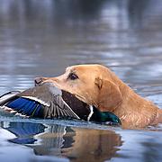34-422. A yellow Labrador retriver brings a mallard to the blind on the Snake River, Idaho.
