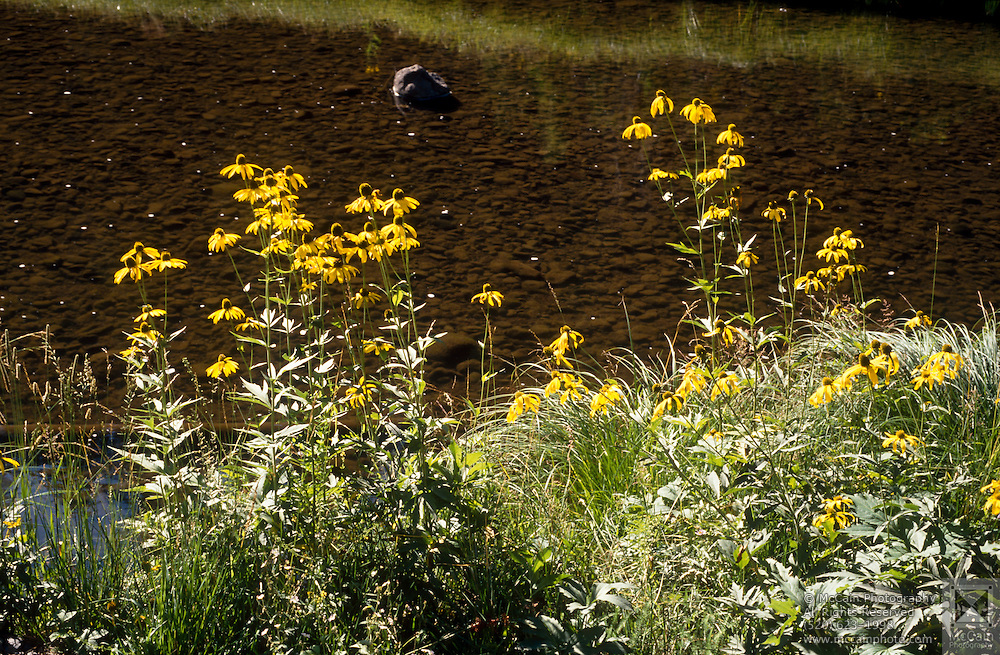 Cutleaved Coneflower (Rudbeckia laciniata) & rushes, Black River, White Mountains, Arizona..Media Usage:.Subject photograph(s) are copyrighted Edward McCain. All rights are reserved except those specifically granted by McCain Photography in writing...McCain Photography.211 S 4th Avenue.Tucson, AZ 85701-2103.(520) 623-1998.mobile: (520) 990-0999.fax: (520) 623-1190.http://www.mccainphoto.com.edward@mccainphoto.com.