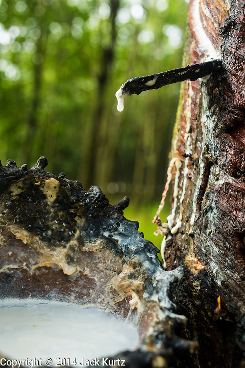 02 SEPTEMBER 2014 - CHUM SAENG, RAYONG, THAILAND:  A tapped rubber tree on a plantation in Rayong, Thailand. Thailand is the leading rubber exporter in the world. In the last two years, the price paid to rubber farmers has plunged from approximately 190 Baht per kilo (about $6.10 US) to 52 Baht per kilo (about $1.60 US). It costs about 65 Baht per kilo to produce rubber ($2.05 US). A rubber farmer in southern Thailand committed suicide over the weekend, allegedly because the low prices meant he couldn't provide for his family. Other rubber farmers have taken jobs in the construction trade or in Bangkok to provide for their families during the slump.   PHOTO BY JACK KURTZ