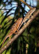 Panther chameleons (Furcifer pardalis) from Palmarium, eastern Madagascar.
