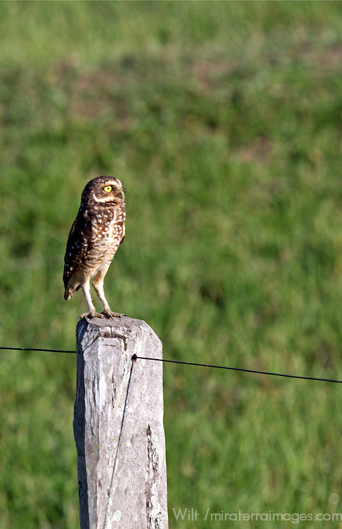 South America, Brazil, Pantanal.  The Burrowing Owl in the Pantanal.