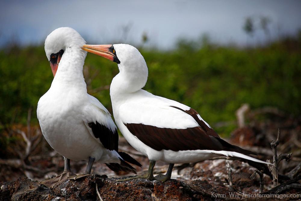 South America, Ecuador, Galapagos Islands. Nazca Boobies mating and courtship rituals.