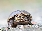 It's Spring and this Eastern Mud Turtle is out and about