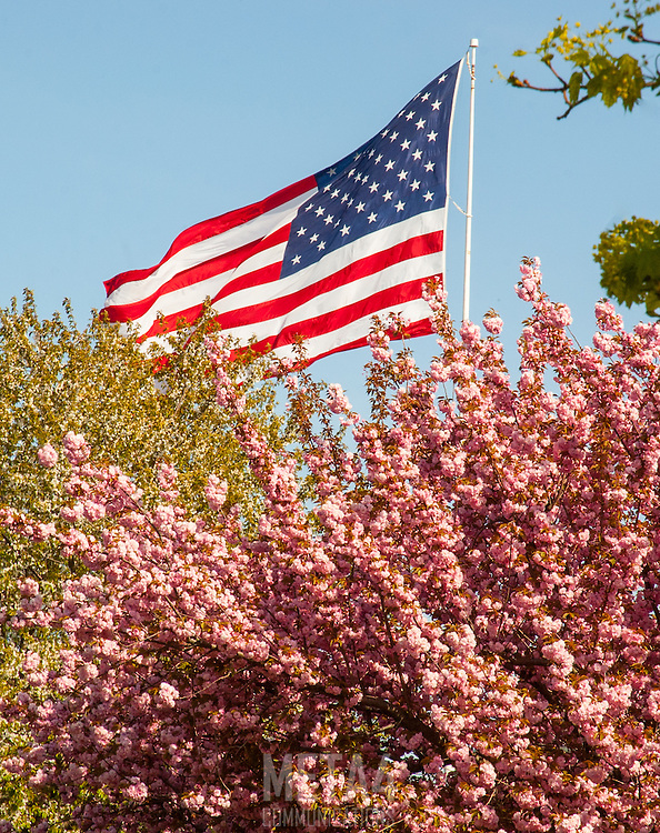 An American flag flies above pink dogwood blossoms on an early Spring day!