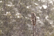 Great Grey Owl in perched during a snowfall in Grand Teton National Park