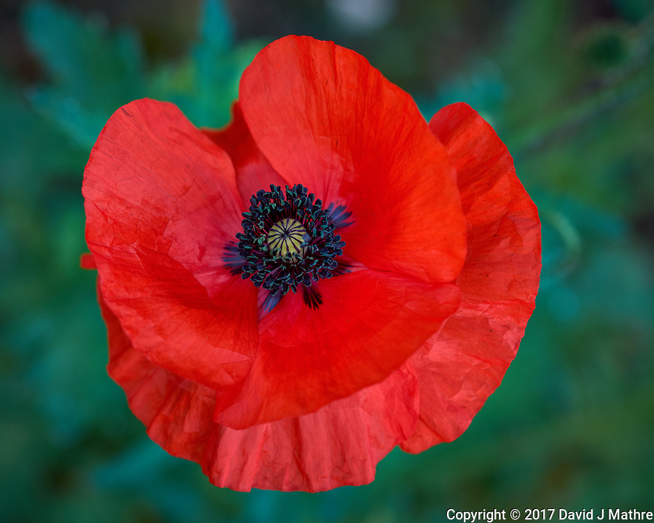 Red Poppy flower. Backyard spring nature in New Jersey. Image taken with a Fuji X-T1 camera and 60 mm f/2.4 macro lens (ISO 200, 60 mm, f/4, 1/200 sec).