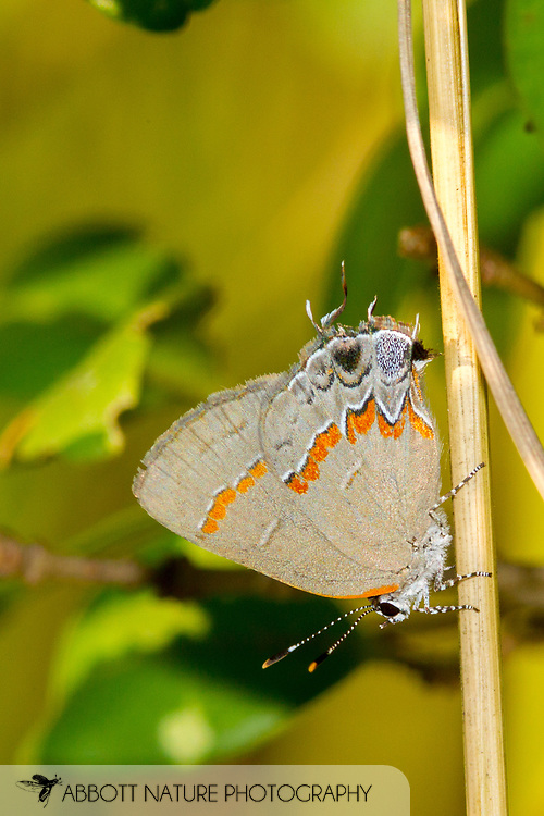 Red-banded Hairstreak - Hodges#4299 (Calycopis cecrops)<br /> United States: North Carolina: Wake Co.<br /> Dorothea Dix Park<br /> Raleigh<br /> 15-Sep-2017<br /> J.C. Abbott #2986