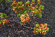 Ohelo berries on the Devastation Trail, Hawaii Volcanoes National Park, Hawaii USA