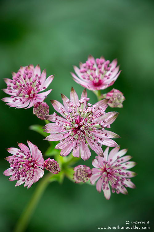 Astrantia check id. Possibly 'Red Joyce' - see Josie's reference shots