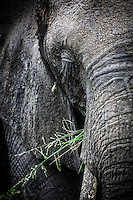 Wild African elephant close up, Kruger National park, South Africa.