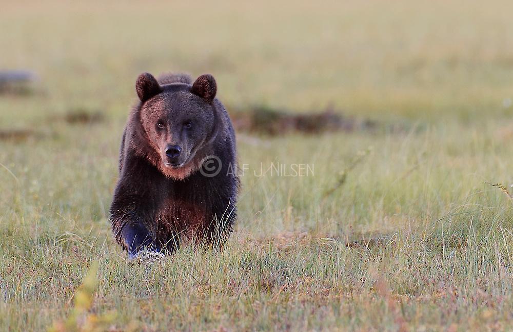 Brown bear (Ursus arctos) walking. Eastern Finland.