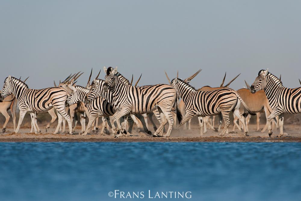 Zebras, Equus quagga, and eland, Taurotragus oryx, at waterhole, Etosha National Park, Namibia