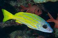 Bluestripe napper-Perche à raies bleues (Lutjanus kasmira), Rangiora atoll, French Polynesia.