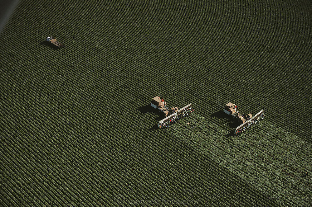 Aerial of harvesting lettuce at Harris Farms in San Joaquin Valley, California. Two large trucks pull conveyors with farm workers sitting low to the ground, enabling them to cut the lettuce as workers on the trucks pack it in crates as they move through the fields, harvesting 16 rows at a time. USA.