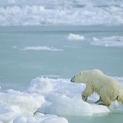 Subadult polar bear (Ursus maritimus) climbing out of the slushy waters of Hudson Bay in Canada.