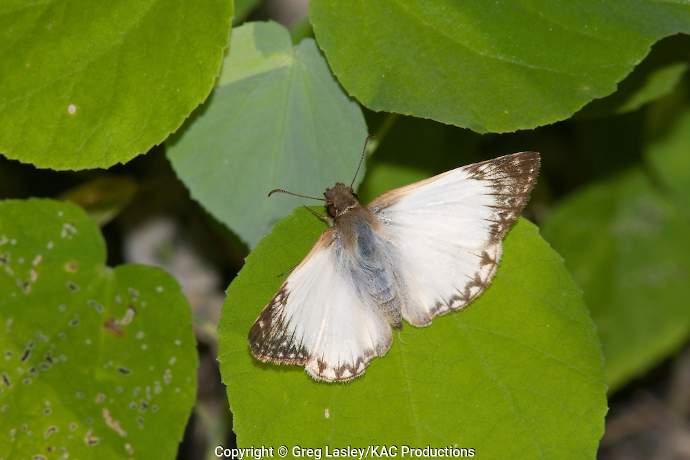 Laviana White-Skipper.Heliopetes laviana.Santa Ana N.W.R.,.Hidalgo Co., Texas.4 October 2008