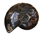 105 million year old ammonite from Madagascar.