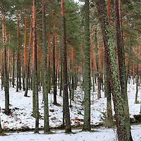 Alberto Carrera, Valsain Forest, Pinus sylvestris, Sierra de Guadarrama National Park, Guadarrama Mountains, Segovia, Castilla y León, Spain, Europe