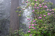 Redwood trees and Pacific Rhododendron in fog, Sequoia sempervirens, Rhododendron macrophyllum, Redwood National Park, California