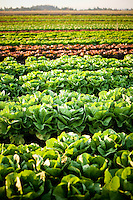 A farm field of organic lettuce growing in Oregon.