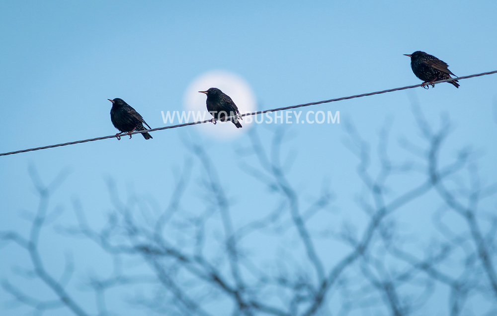 Middletown, New York - Starlings perch on a wire as the waxing moon rises in the background on March 10, 2017.