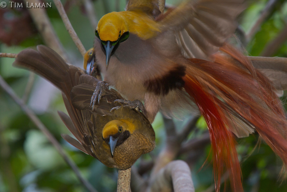 Goldie's Bird of Paradise.(Paradisaea decora) male attempting to mount a female..
