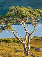 Scots Pine (Pinus sylvestris) along Loch Maree Wester Ross Scotland