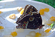 Lasiommata maera orientalis, Butterfly, resting on pieces of fruit Israel, October 2006