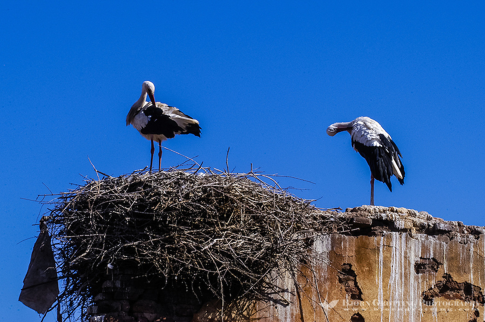 Morocco, Marrakesh. Storks nesting near Place Yazid in the medina.
