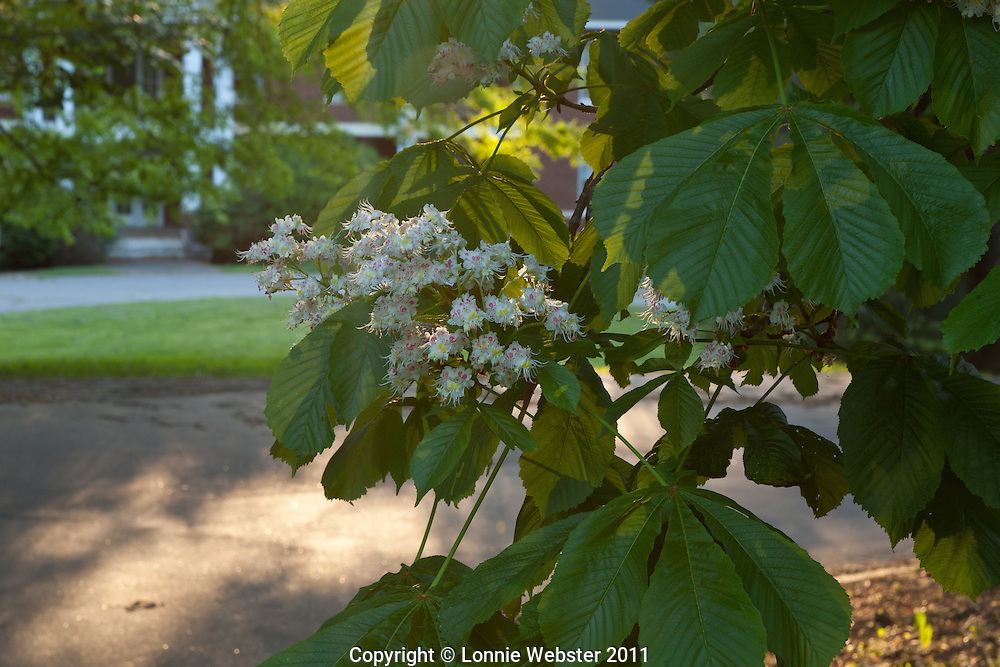 Red Horsechestnut  ( Aesculus xcarnea ) on the Broughton Hospital campus