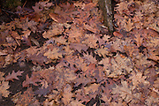 Oak leaves on the floor of a cemetery,Dummerston,VT