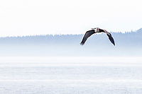 A Blue Heron in flight over the Salish Sea near Anacortes, Washington, USA.