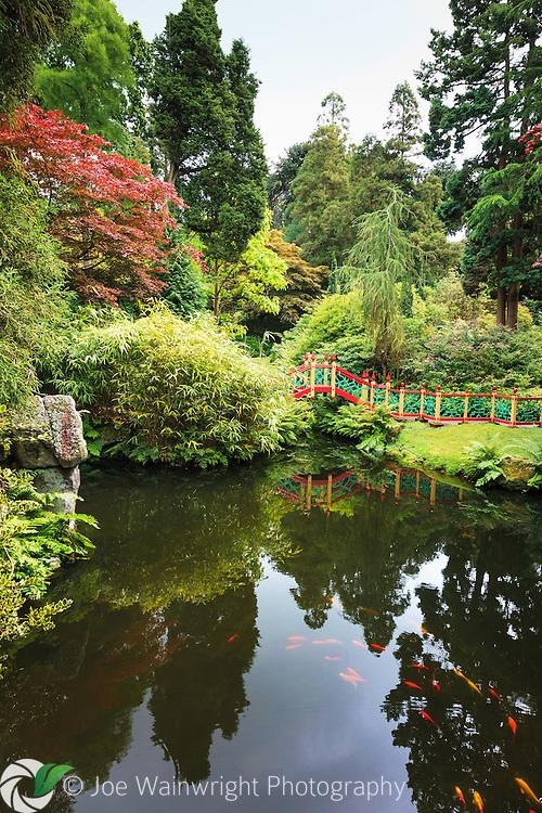 Koi carp swim in the exotic China themed area of Biddulph Grange Gardens, Staffordshire.
