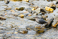 American Dipper (Cinclus mexicanus) on rock along stream in Kigluaik Mountains near Nome on the Seward Peninsula in Northwest Alaska. Spring. Morning.
