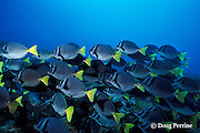 yellowtail surgeonfish, Prionurus laticlavius, Galapagos Islands, Ecuador,  ( Eastern Pacific )