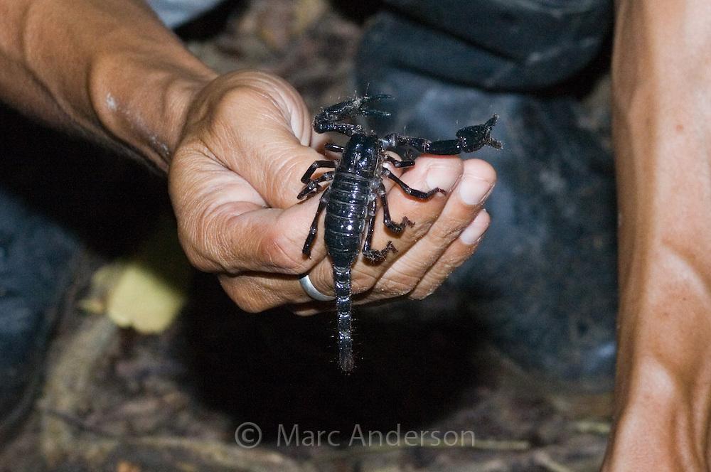 A man holding a scorpion, Sabah, Malaysia..