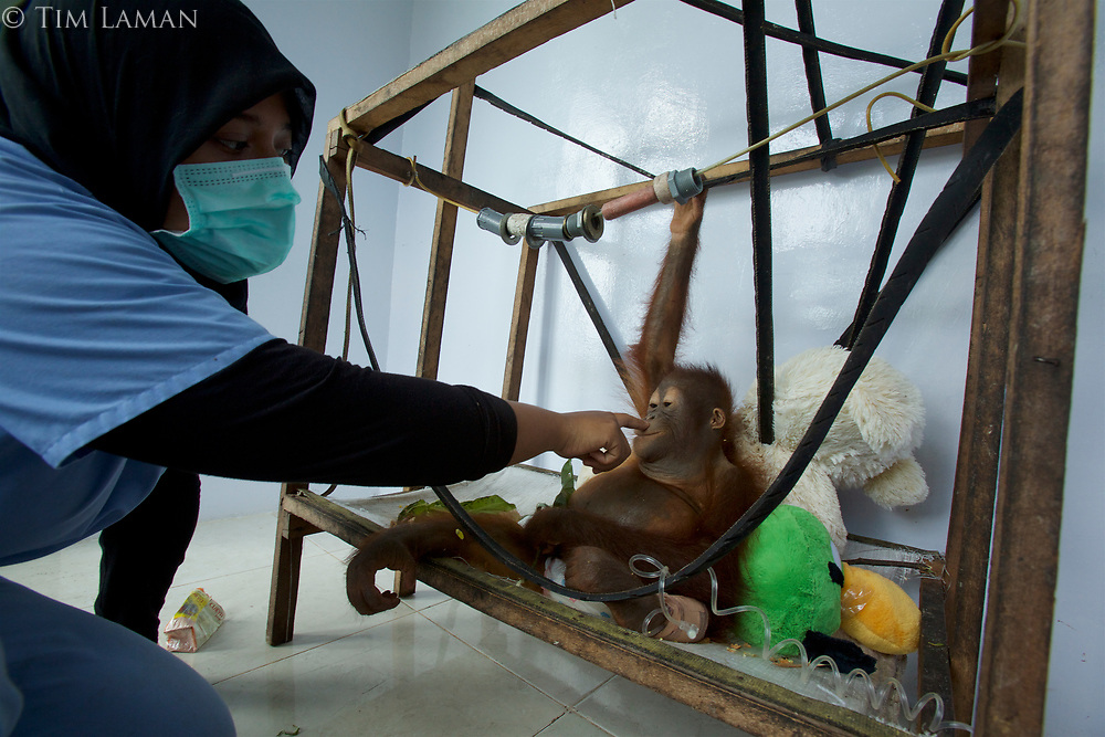 Ayu Budi Handayani, a vet from Jakarta, checks the IV of a sick and dehydrated juvenile orangutan at the IAR facility.<br /><br />International Animal Rescue (IAR)<br />Ketapang <br />West Kalimantan Province<br />Island of Borneo<br />Indonesia